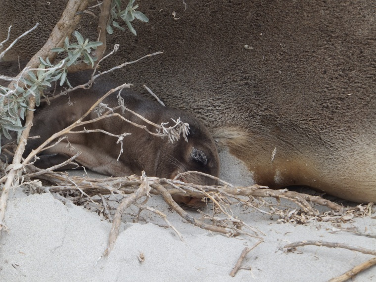 Mother and pup sleeping in the dunes
