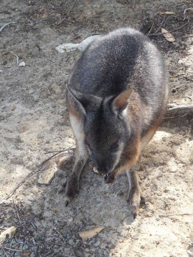Tammar Wallaby in the car park