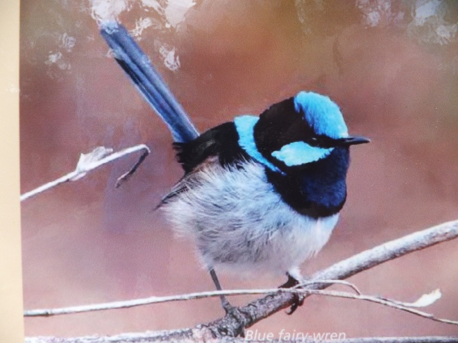 Fairy wren.  They are every where but much too quick to photograph