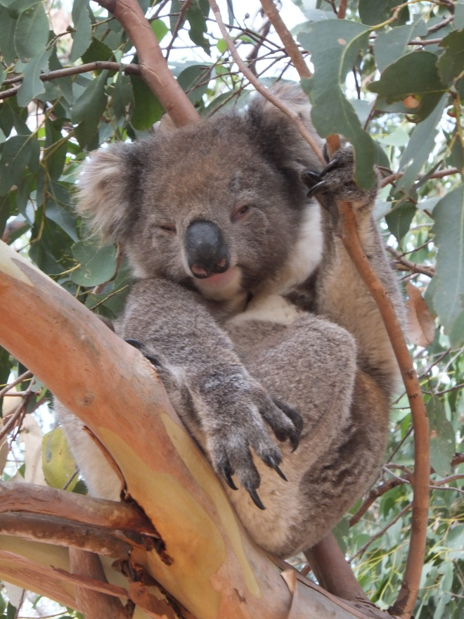 Koala, dozing in a gum tree, one of four we saw at Flinders Chase