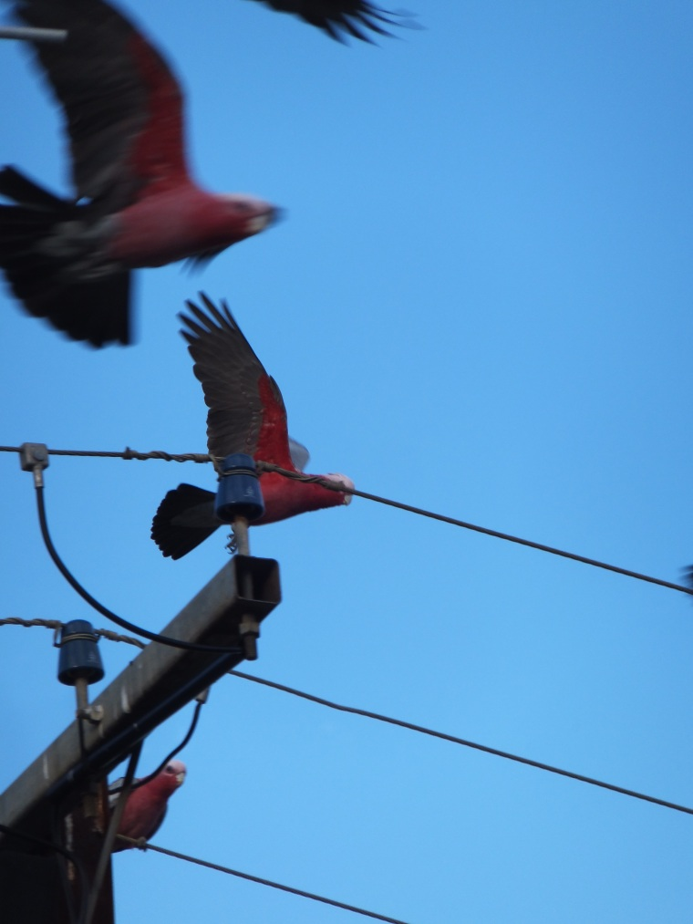 A few of the many galahs resident at American River