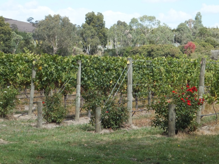 Roses planted at the end of the rows of grapes, as an indicator ofdisease.  red for red grapes and white for white at the Chandon vineyard.