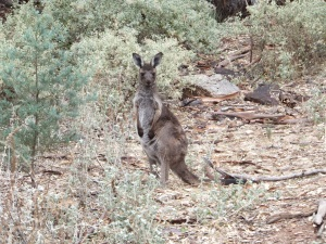 A euro, the small kangaroo local to these parts