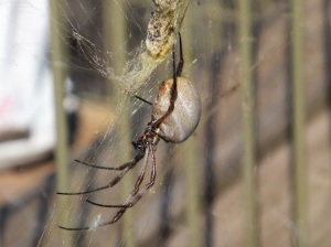 A huge orb web spider