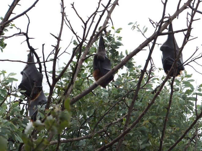 Bats on the Mitchel River Walk