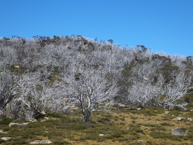 Snow gums, the only trees growing above the snow line here in Australia.
