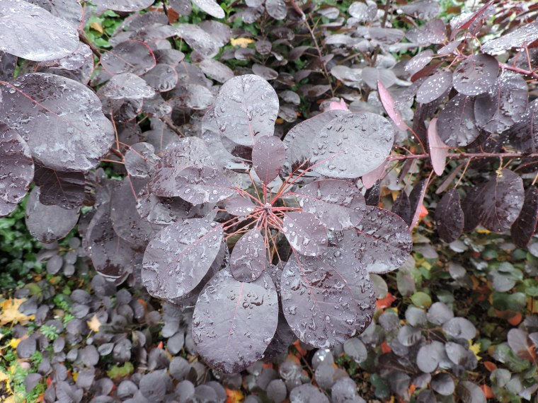 Cotinus I think, the rain on this looked really pretty.