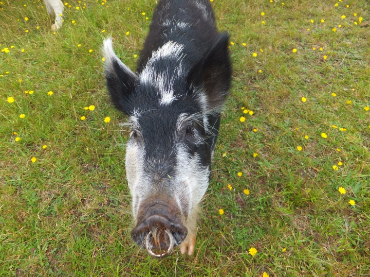 A pig called Shirley